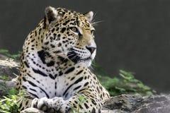 Jaguar som ner ligger Royaltyfria Foton