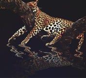 Jaguar som sover på ett träd med hans reflex på vattnet vektor illustrationer