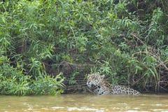 Jaguar som stoppar i floden Fotografering för Bildbyråer