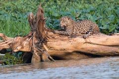 Jaguar som vässar henne jordluckrare royaltyfri bild