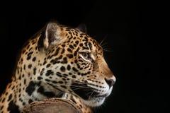 Jaguar stående Arkivbild