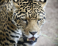 A Jaguar Stalking Its Prey in the Wild. A Jaguar, Panthera onca, Stalking Its Prey in the Wild Stock Images