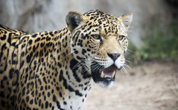 A Jaguar Stalking Its Prey in the Wild. A Jaguar, Panthera onca, Stalking Its Prey in the Wild Royalty Free Stock Photo