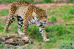 Jaguar Stalking Prey Royalty Free Stock Images