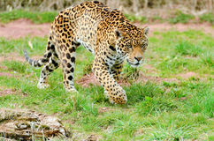 Jaguar Stalking Prey Stock Photography