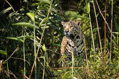 Jaguar standing staring through undergrowth in sunshine Royalty Free Stock Images