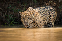 Jaguar stares out over river from shallows Royalty Free Stock Image