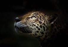 Jaguar face.. royalty free stock photography