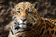 Jaguar staring at camera royalty free stock photo