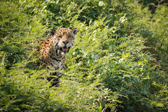Jaguar staring at camera from leafy bushes Stock Photo
