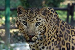 A jaguar staring at camera while it was inside the cage. Stock Images
