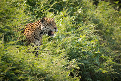 Jaguar staring out from bushes in sunshine Stock Photos