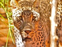 Jaguar staring - Part 2. A hungry jaguar looking for a feed stares waits patiently. Adelaide zoo, South Australia Stock Photo