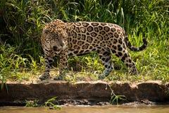 Jaguar staring at water from river bank Stock Photos