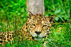 Jaguar staring at you. Lying on the grass Royalty Free Stock Photos