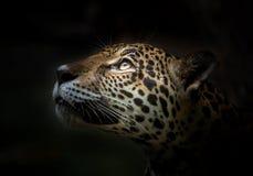 Jaguar stawia czoło fotografia royalty free