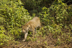 Jaguar Stepping over Vines Royalty Free Stock Photography