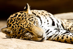 Jaguar-Stillstehen lizenzfreie stockfotos