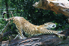 Jaguar stretching Stock Images