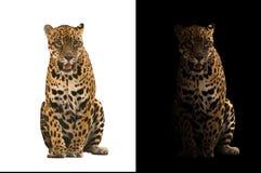Jaguar su fondo in bianco e nero fotografia stock