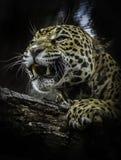 Jaguar. Sub-tropical Panthera close up looking fierce stock image