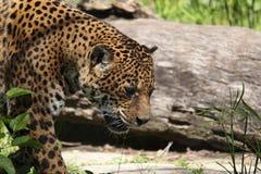 Jaguar sud-américain Image libre de droits