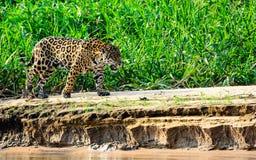 Jaguar sul vagare in cerca di preda Immagini Stock