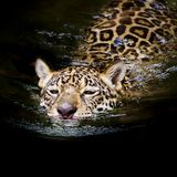 Jaguar swim Stock Photos