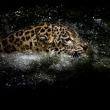 Jaguar  swim Royalty Free Stock Photography