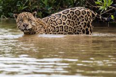 Jaguar Swimming. Large male jaguar swimming in the Pantanal Stock Images