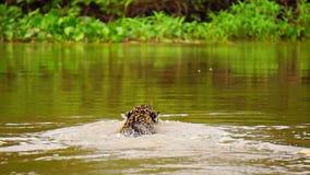 Jaguar swimming in Pantanal wetlands river stock footage