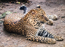 Jaguar taking rest Royalty Free Stock Photography