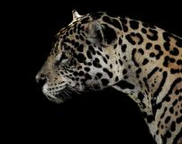 Jaguar, Terrestrial Animal, Wildlife, Leopard royalty free stock photos