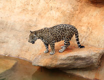 Jaguar tiger cat resting and swimming. In the zoo stock photos