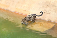 Jaguar tiger cat resting and swimming. In the zoo royalty free stock photos
