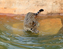 Jaguar tiger cat resting and swimming. In the zoo stock image
