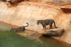 Jaguar tiger cat resting and swimming. In the zoo stock images
