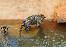 Jaguar tiger cat resting and swimming. In the zoo royalty free stock images