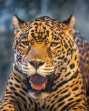 Jaguar tiger head. Close up Jaguar tiger head open mouth and staring royalty free stock images