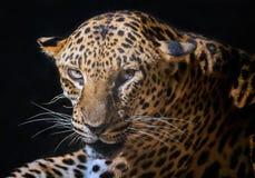 Jaguar tiger head. Jaguar tiger head on black background stock photography