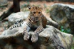 Jaguar Tiger Royalty Free Stock Images