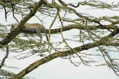 Jaguar on tree Stock Photo