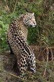 Jaguar Uderza pozę fotografia stock