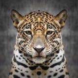 Jaguar vänder mot tätt upp Arkivfoton