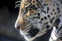 Jaguar. Verborgen woede. stock foto's