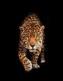Jaguar w ciemności - odosobniony frontowy widok, Obraz Stock