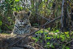 Jaguar w Pantanal Fotografia Stock