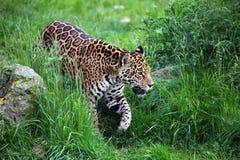 Jaguar walking. Male jaguar walking in green grass Stock Photos