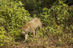 Jaguar Walking through Bushes. A wild jaguar stealthily moves through the dense green forest and appears at an opening through the bushes royalty free stock photos