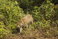 Jaguar Walking through Bushes Royalty Free Stock Photos